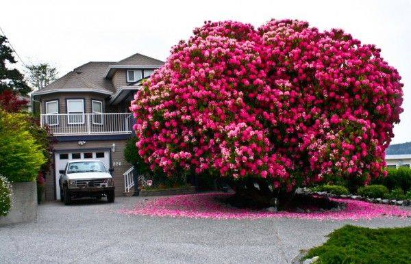 A beautiful 125 Year Old Rhododendron Tree in Ladysmith, British Columbia, Canada https://www.facebook.com/greenrenaissance