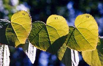 thompson_katsura_leaves_aux_img